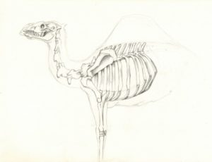 anatomy studies; the camel skeleton is still a work-in-progress and I'll try to update it later